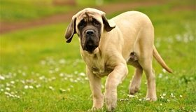 Картинка: Собака, пёс, лужайка, зелёная трава, лето, гуляет
