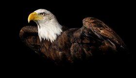 Картинка: Орлан, хищник, голова, клюв, глаз, перья, чёрный фон