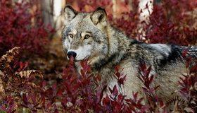 Картинка: Волк, хищник, зверь, морда, взгляд, лес, растения, опасность