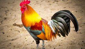 Картинка: Петух, птица, яркий, оперение, гребешок, хвост