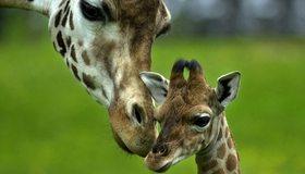 Картинка: Жираф, пара, мать, детёныш, любовь, забота