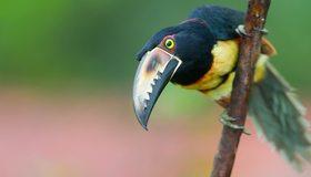 Картинка: Арасари, птица, клюв, ветка, сидит, оперение, окрас