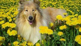 Картинка: Колли, собака, шерсть, одуванчики, трава, лето