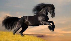Картинка: Конь, чёрный, скакун, грива, блеск, поле, трава, жеребец