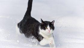 Картинка: Кот, кошка, пушистый, чёрно-белый, бежит, снег, зима