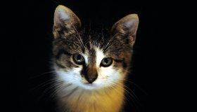 Картинка: Кошка, морда, пушистая, окрас, взгляд, чёрный фон