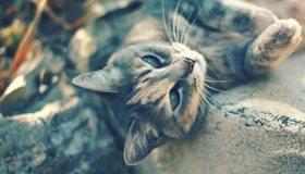 Картинка: Кот, кошка, глаза, взгляд, усы, шерсть, лапы, нос, отдыхает, лежит