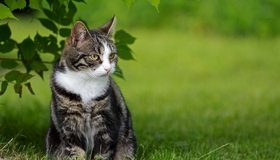 Картинка: Кошка, кот, шерсть, сидит, взгляд, листья, трава, природа, лето