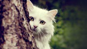 Картинка: Кот, белый, выглядывает, дерево, взгляд