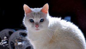 Картинка: Кот, белый, глаза, голубые, взгляд, пушистый, гантели