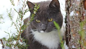 Картинка: Кот, смотрит, снег, ветки, кора, дерево