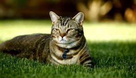 Картинка: Кот, лежит, трава, медальон, ошейник, морда