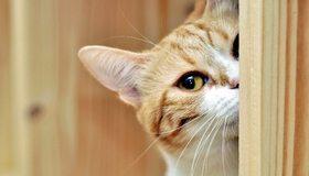 Картинка: Кот, рыжий, уши, усы, морда, глаз, выглядывает
