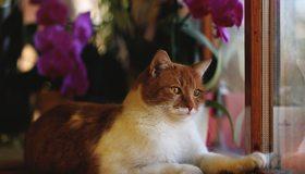 Картинка: Кот, котяра, рыжий, морда, взгляд, глаза, лапы, шерсть, смотрит, окно