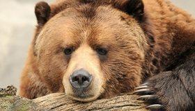 Картинка: Медведь, бурый, морда, нос, лапа, дерево
