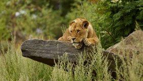 Картинка: Львица, взгляд, глаза, наблюдает, лежит, кошка, морда, хищник, камень, зелень