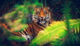 Картинка: Тигр, полосы, клыки, оскал, лежит, морда, глаза, взгляд, хищник, заросли