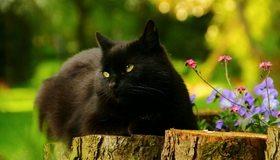 Картинка: Кот, кошка, чёрный, лежит, глаза, уши, пень, цветы, лето, день, солнечный, размытость