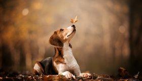 Картинка: Собака, мордочка, листья, осень, боке