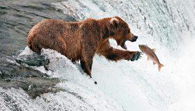 Картинка: Медведь, бурый, гризли, ловля, рыбачит, рыба, лосось, водопад, вода