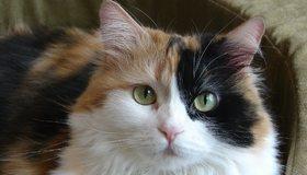 Картинка: Кошка, морда, шерсть, окрас, усы, уши, взгляд, глаза