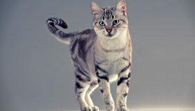 Картинка: Кошка, мордочка, глаза, лапы, хвост, полоски, серая
