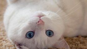 Картинка: Кот, белый, лежит, ковёр, на спине, вверх, взгляд, глаза, голубые, ушки