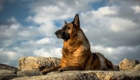 Картинка: Немецкая овчарка, собака, порода, камни, лежит, небо, облака
