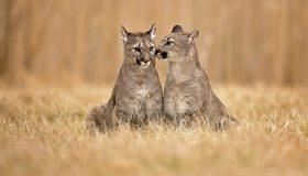 Картинка: Пума, кошки, нюхает, трава, сидят