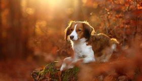 Картинка: Собака, пёс, лежит, лес, осень, холм, мох, листья