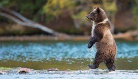 Картинка: Медведь, хищник, лапы, идёт, вода, озеро, рыба, мель