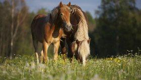 Картинка: Лошадь, пара, едят, трава, поле, боке