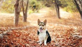 Картинка: Собачка, пёсик, сидит, язык, сухие, опавшие, листья, осень