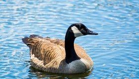 Картинка: Птица, гусь, вода, плавает
