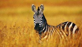 Картинка: Зебра, поле, трава, боке, наблюдает