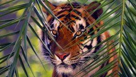 Картинка: Бенгальский тигр, хищник, полосы, взгляд, глаза, ветки