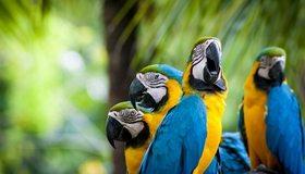 Картинка: Попугаи, Ара, птицы, клюв, перья, окрас, цвет