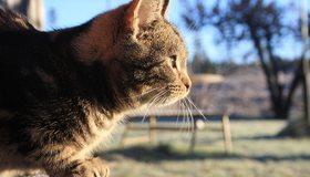 Картинка: Кошка, пушистый, профиль, сидит, смотрит
