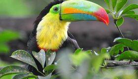 Картинка: Птица, тукан, оперение, цвет, клюв, тропики, ветка, растение