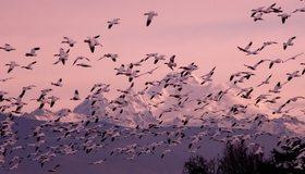Картинка: Птицы, утки, стая, летят, небо, горы, природа