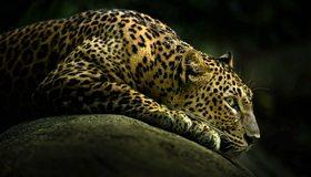 Картинка: Леопард, пятна, лежит, камень, затемнение