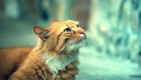 Картинка: Кот, рыжий, смотрит, размытость