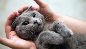 Картинка: Кот, глаза, лежит, пушистый, руки