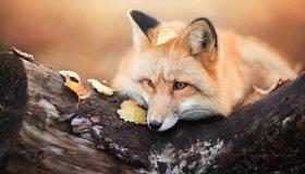 Картинка: Лиса, рыжая, шерсть, глаза, морда, нос, пень, дерево, кора, листья, осень