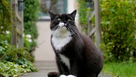 Картинка: Кот, пушистый, чёрно-белый, сидит, дорожка, зелень