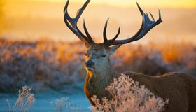 Картинка: Олень, рогатый, рога, зима, смотрит, закат, природа