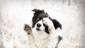 Картинка: Собака, морда, лапы, зима, снег