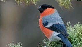 Картинка: Птица, снегирь, красный, ветка, сидит, мох, лишай