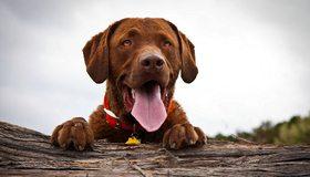 Картинка: Собака, язык, дерево