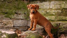 Картинка: Собака, немецкий пинчер, порода, стоит, кирпичи, стена